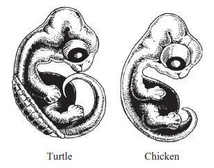 Turtle embryo - photo#27